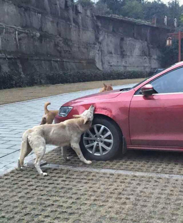 man-kicks-a-dog-dog-comes-back-with-friends-and-destroys-his-car-while-hes-away-1