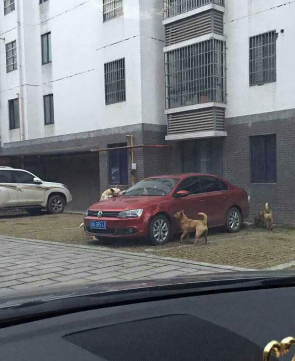 man-kicks-a-dog-dog-comes-back-with-friends-and-destroys-his-car-while-hes-away-2
