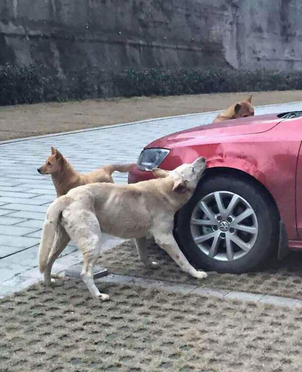 man-kicks-a-dog-dog-comes-back-with-friends-and-destroys-his-car-while-hes-away