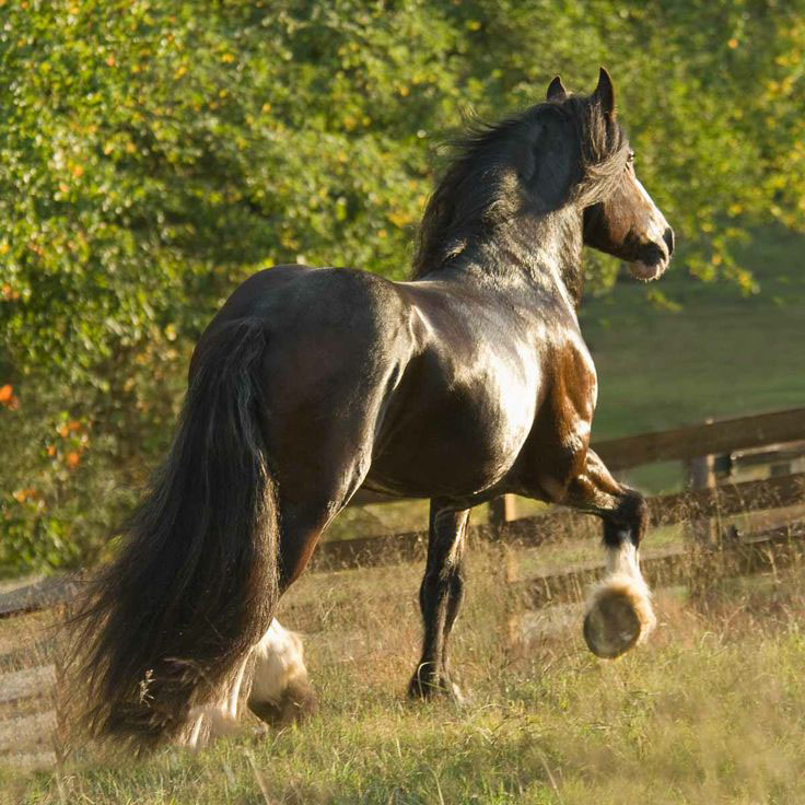 Shire Draft horse stallion, 16 years old