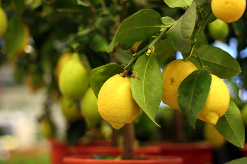 Lemon trees at home how to choose germinate and plant a for How to plant lemon seeds after germination