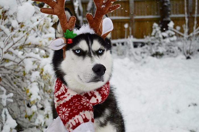 angry-husky-christmas-photoshoot-anuko-4