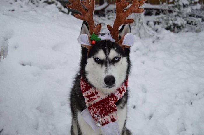 angry-husky-christmas-photoshoot-anuko-6