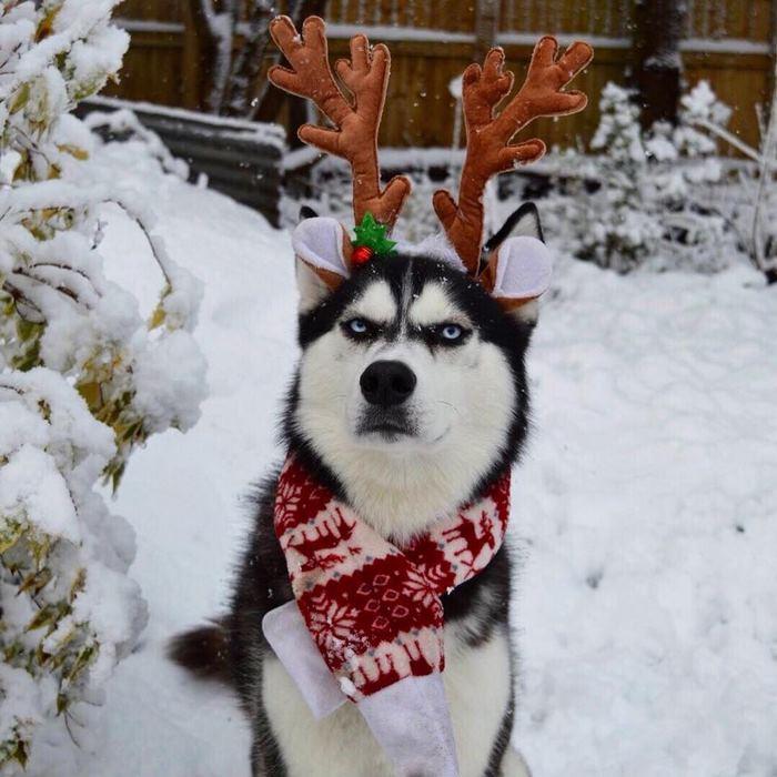 angry-husky-christmas-photoshoot-anuko-7
