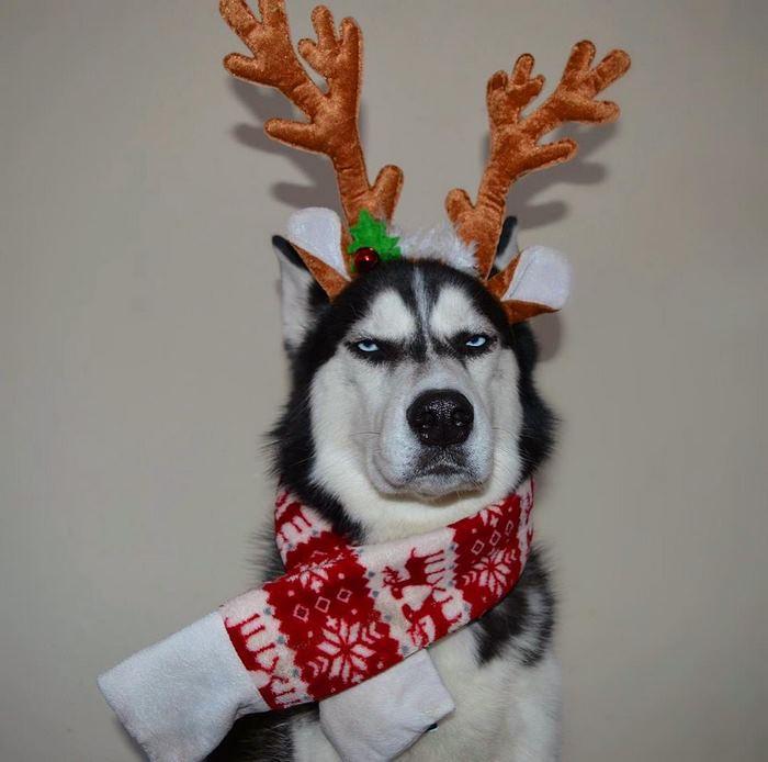 angry-husky-christmas-photoshoot-anuko-9