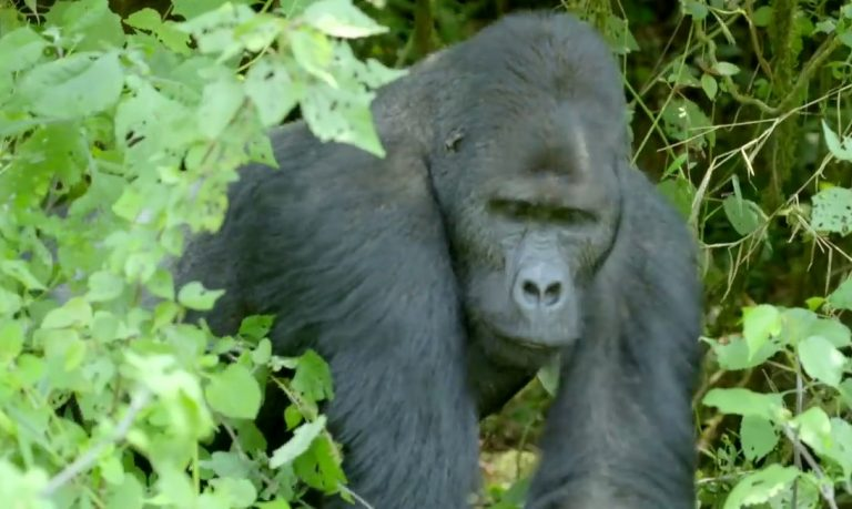 2-silverback-in-the-bushes-768x459