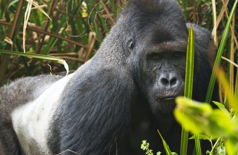 6-silverback-eastern_lowland_gorilla-e1515520525300-768x500