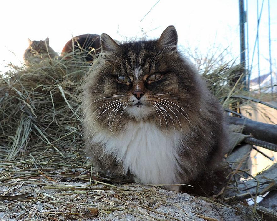 siberian-farm-cats-alla-lebedeva-24-5a3380f722bd6__880