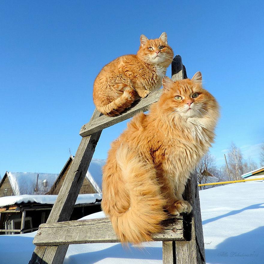 siberian-farm-cats-alla-lebedeva-33-5a33810a00057__880
