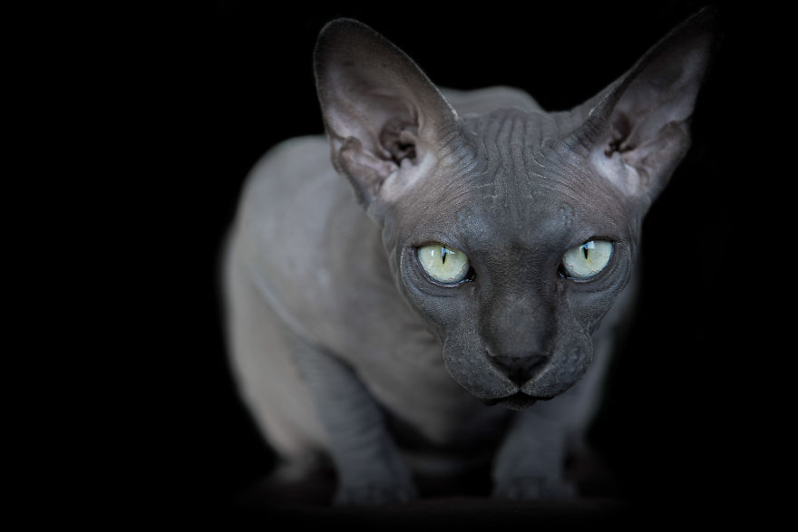 sphynx-cat-photos-by-alicia-rius-11__880