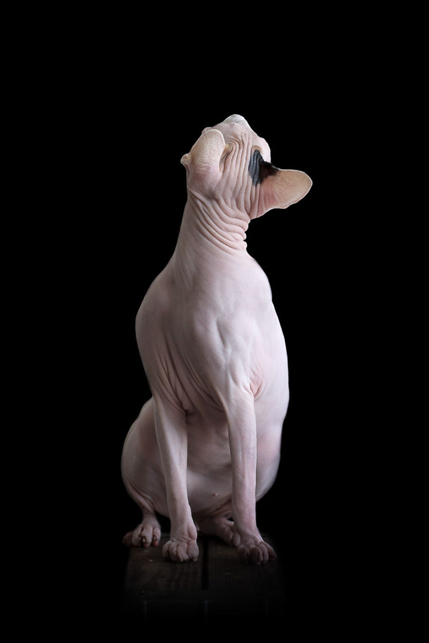 sphynx-cat-photos-by-alicia-rius-12__880